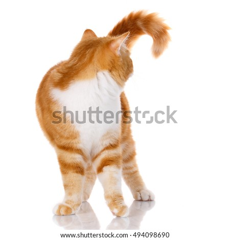 Scottish straight cat standing on a white background turn back from his head, studio photo