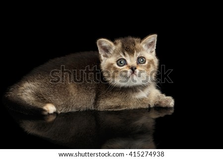 Scottish Straight Kitten Lying and Curious Looking up Isolated on Black Background - stock photo