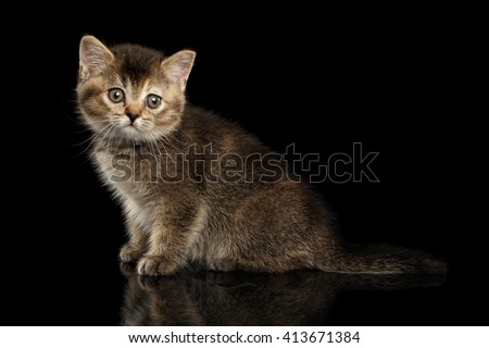 Scottish Straight Kitten Sitting and Curious Looking in Camera Isolated on Black Background - stock photo