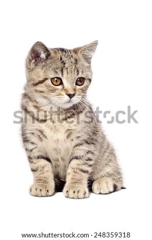 Scottish Straight  kitten sitting isolated on white background - stock photo