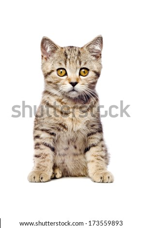 Scottish Straight  kitten sitting looking at camera isolated on white background