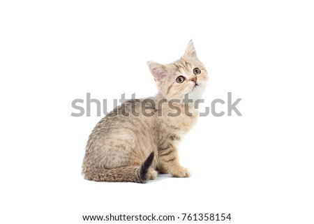 Scottish Straight kitty light colored with stripes of fluffy colors on white isolated background