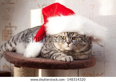 Scottish straight shorthair cat in Santa Claus hat