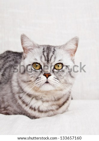 Scottish straight shorthair cat sitting on the bed - stock photo