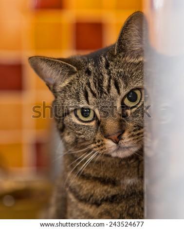 Scottish Tabby Cat at the fridge door. This is a pet Scottish Tabby Cat & Cat Door Stock Images Royalty-Free Images \u0026 Vectors | Shutterstock Pezcame.Com