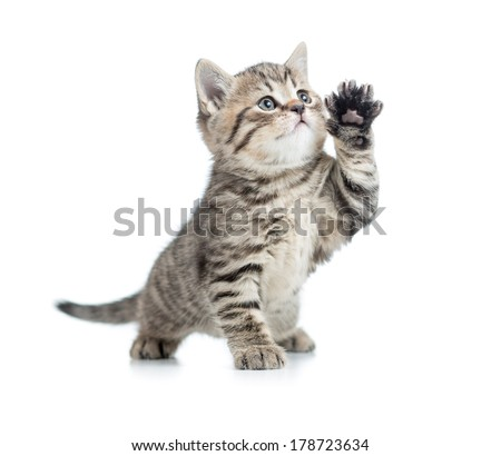 Scottish tabby kitten gives paw and looking up - stock photo