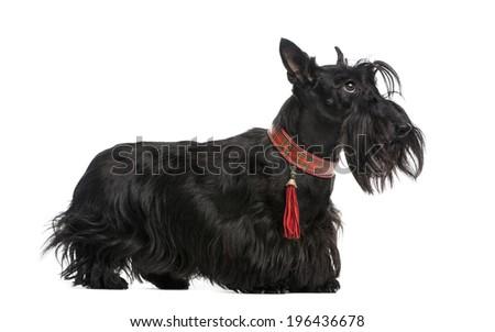 Scottish Terrier - stock photo
