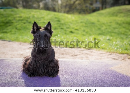 Scottish terrier dog sitting and looking at camera outdoors - stock photo