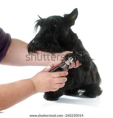 scottish terrier in front of white background - stock photo