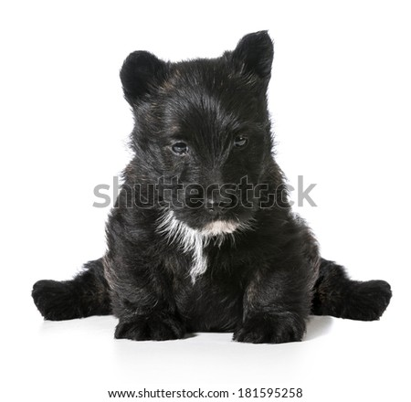 scottish terrier puppy sitting isolated on white background - stock photo