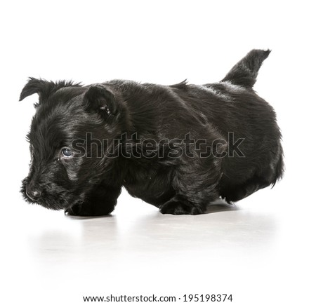 scottish terrier puppy walking toward viewer isolated on white background - stock photo