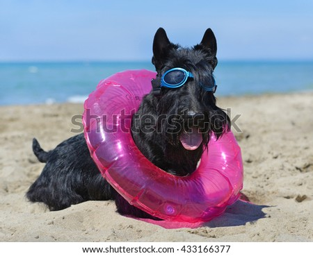 scottish terrier standing on the beach, in France