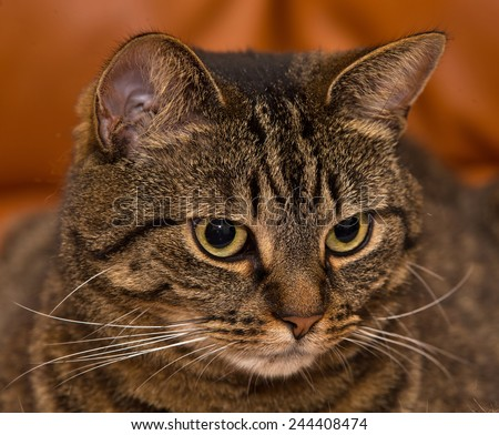Scottish Wild Cat impersonater sitting comfortably at home. This is a Scottish Tabby house cat sitting comfortable on it's bed at home watching the activities. - stock photo