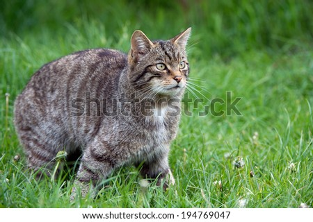 Scottish Wildcat in long vivd green grass/Scottish Wildcat/Scottish Wildcat (felis silvestris grampia)