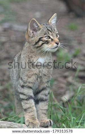 Scottish Wildcat Kitten - stock photo