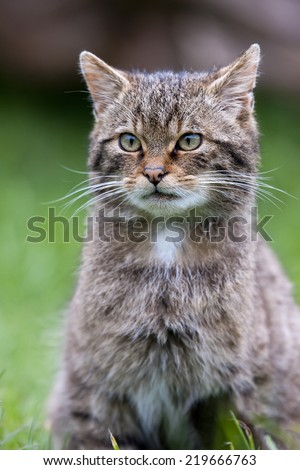 Scottish Wildcat The only native wildcat in Britain and, according to some, more endangered than the Siberian Tiger.