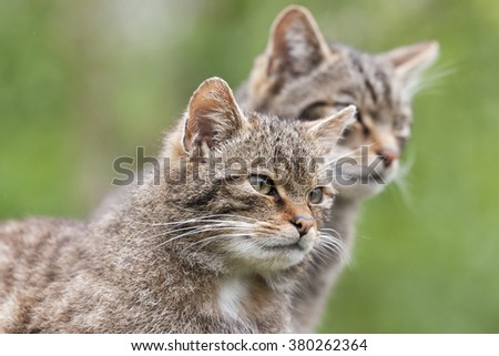 Scottish Wildcat The only native wildcat in Britain and, according to some, more endangered than the Siberian Tiger