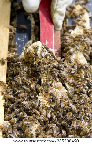 Scraping excess honey and wax comb from hive. - stock photo