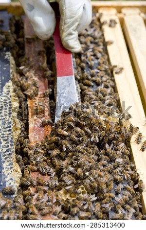 Scraping the top of the frames of a honeybee hive of excess honey comb. - stock photo