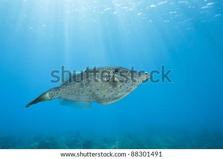 Scrawled Filefish (Aluterus scriptus) over a tropical coral reef off the island of Roatan, Honduras. - stock photo
