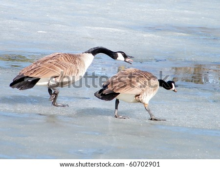 Screaming at geese on ice of Oakbank Pond in Thornhill,Canada - stock photo