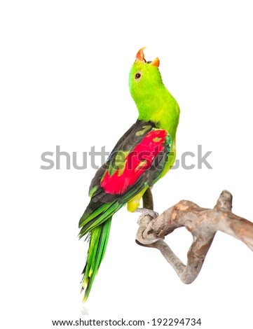 Screaming Red-Winged Parrot (Aprosmictus erythropterus) in profile . isolated on white background