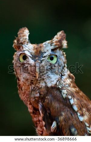 Screech Owl - stock photo