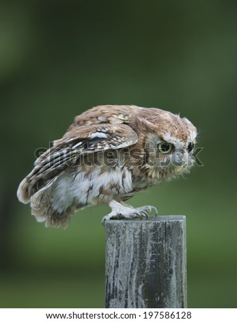 Screech owl on fence post - stock photo
