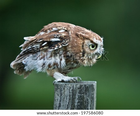 Screech Owl Red Phase on fence post - stock photo
