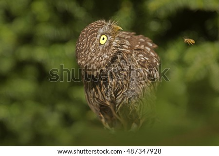 screech-owl watches a flying wasp