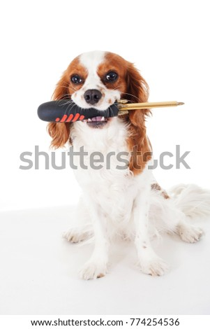 Simple Cavalier Canine Adorable Dog - stock-photo-screwdriver-with-cavalier-king-charles-spaniel-dog-photo-beautiful-cute-cavalier-puppy-dog-on-774254536  Pictures_568060  .jpg