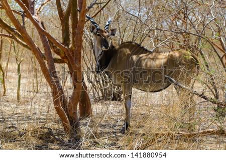 Screwhorn antelope photo, Senegal - stock photo