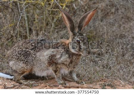 Scrub Hare - stock photo