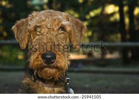 Scruffy airedale terrier dog - stock photo