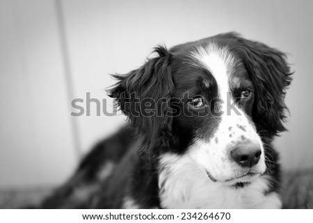 Scruffy Dog - This is a black and white shot of a scruffy old dog with tired eyes. - stock photo