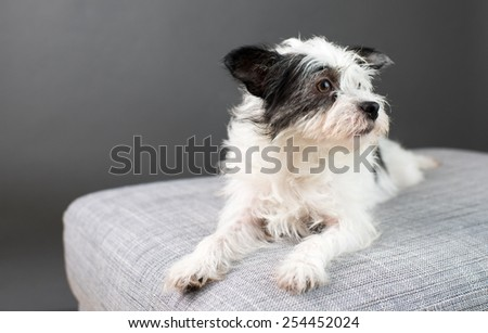 Scruffy White and Black Terrier Mix on Gray Chair