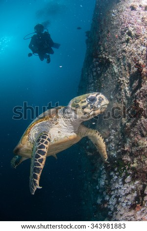 SCUBA diver and turtle in the sea