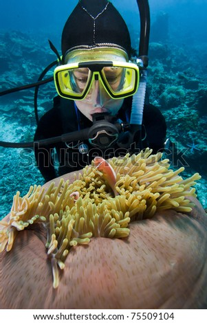 Scuba diver examining a Pink Anemonefish (Amphiprion perideraion) peaking from its anemone on a tropical coral reef off Bunaken Island in North Sulawesi, Indonesia.