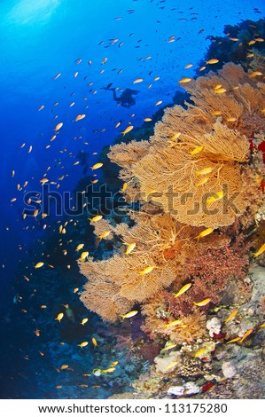 Scuba diver exploring a beautiful underwater tropical coral reef with gorgonian fan corals - stock photo