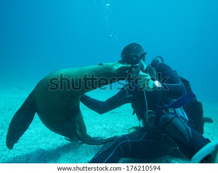 scuba diver playing with a sealion