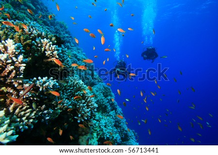 Scuba Divers swim along coral reef