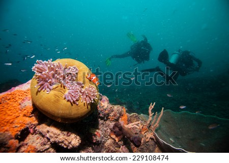 Scuba Divers swim over coral reef with Clown fish in an Anemone - stock photo