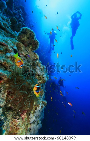 Scuba Divers swim past Anemone on reef wall