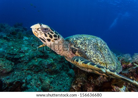 Scuba diving in indonesia with hawksbill turtle - stock photo