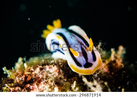 scuba diving lembeh indonesia chromodoris elizabethina nudibranch - stock photo