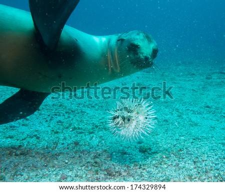 scuba diving sea lions,mexico - stock photo