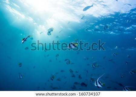 scuba diving with group of Butterfly fish