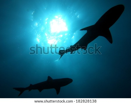 Scuba diving with sharks, Tahiti  - stock photo