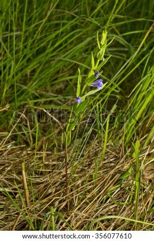 Scutellaria galericulata, common skullcap, marsh skullcap or hooded skullcap. Blue blooming flower in natural environment. - stock photo