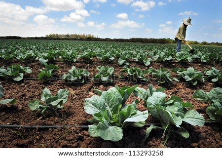 SDEROT-AUGUST 23:A foreign Thai worker works in a cabbage field on Aug 23 2005 in Sderot, Israel.There are about 300,000 workers in Israel that works mainly in agriculture, two-thirds are unauthorized - stock photo